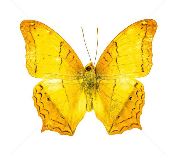 美しい 飛行 蝶 クルーザー 翼 ストレッチング ストックフォト © ungpaoman