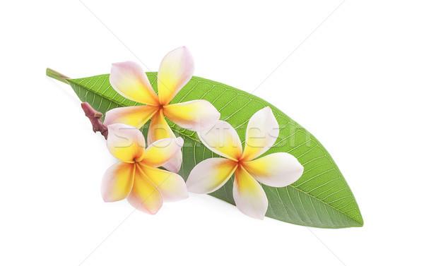 frangipani flower isolated on white Stock photo © ungpaoman