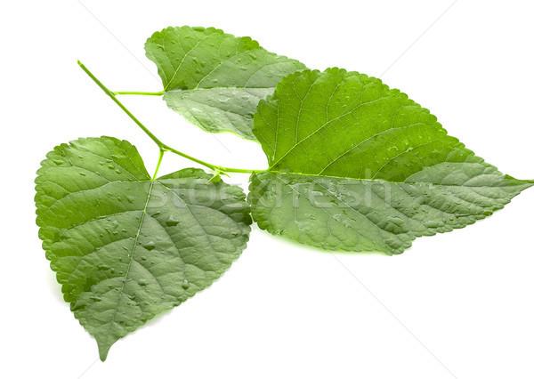 Verde folha isolado branco árvore Foto stock © ungpaoman
