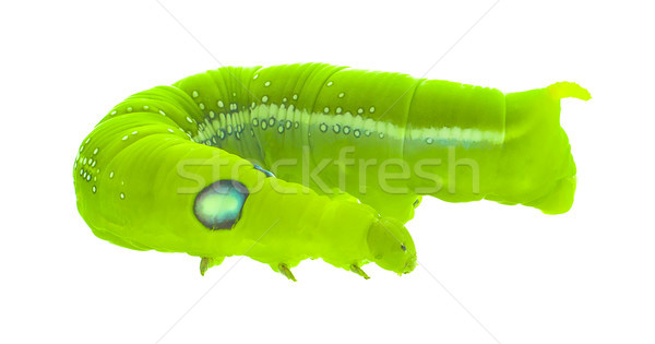 Green butterfly worm close up in white background Stock photo © ungpaoman