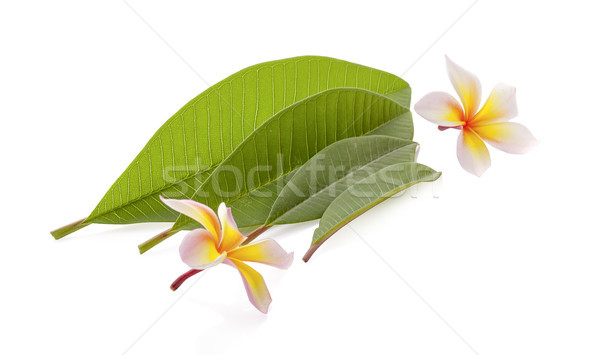 frangipani flower isolated on white Stock photo © ungpaoman