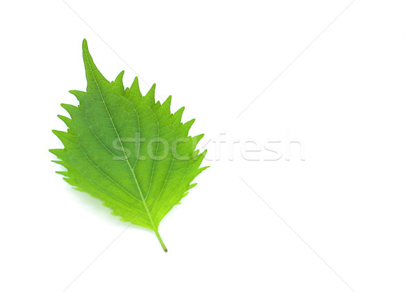 fresh green shiso leaf on white background Stock photo © ungpaoman