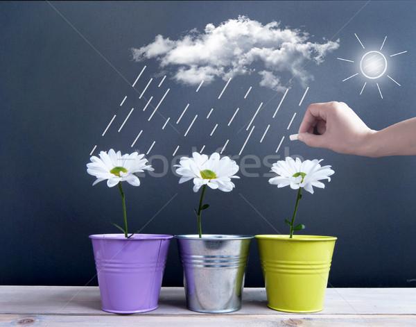 Primavera tiempo margaritas dentro nubes lluvia Foto stock © unikpix