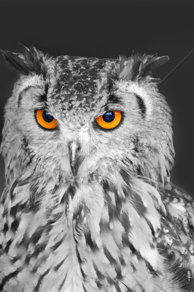 Chouette eagle owl blanc noir lumineuses orange yeux Photo stock © unikpix