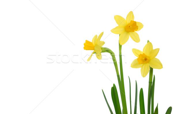 Narcisos primavera isolado branco espaço texto Foto stock © unikpix