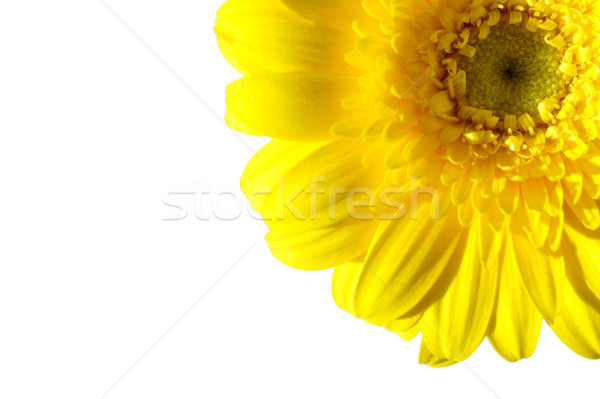 Spring daisy  Stock photo © unikpix