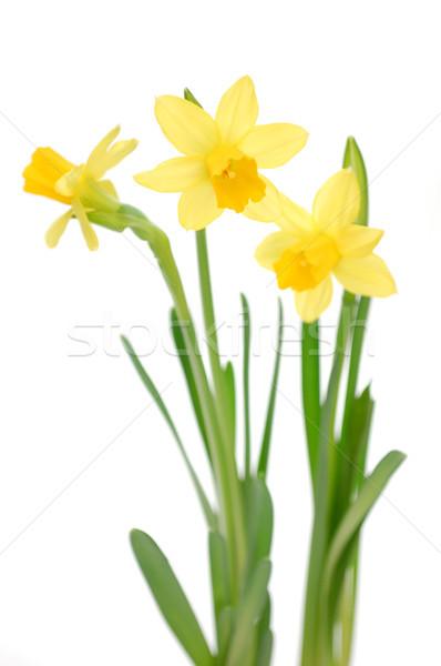 Narcisos amarelo isolado branco flor primavera Foto stock © unikpix