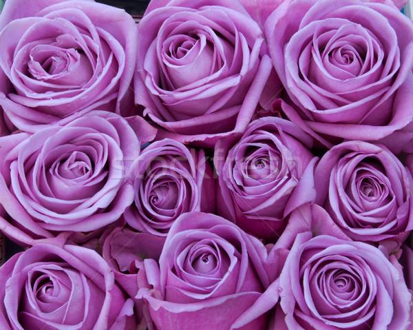 Roxo rosas monte rosa flores amor Foto stock © unikpix