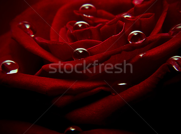 Su damlası kırmızı gül atış su bahar Stok fotoğraf © unkreatives