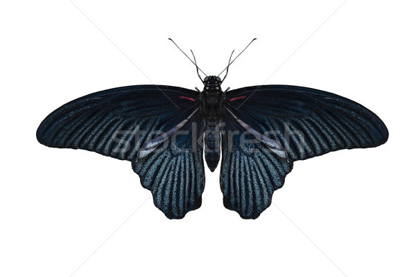 Great Mormon Butterfly on white Stock photo © unkreatives