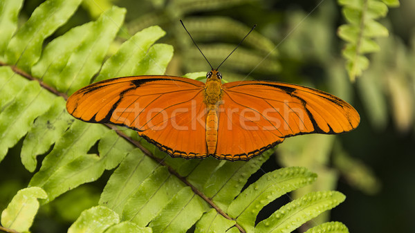 Julia Heliconian (Dryas iulia) butterfly Stock photo © unkreatives