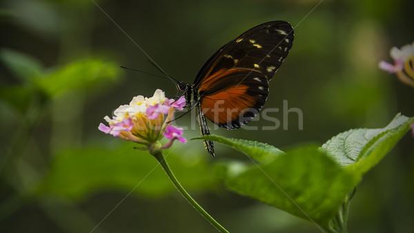 Borboleta sessão flor folha verão preto Foto stock © unkreatives