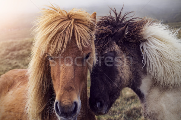Two Faroese Horses Stock photo © unkreatives