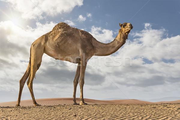 верблюда пустыне Постоянный дюна облачный день Сток-фото © unkreatives