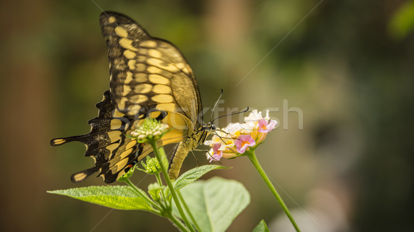 Stock photo: King Swallowtail Butterfly
