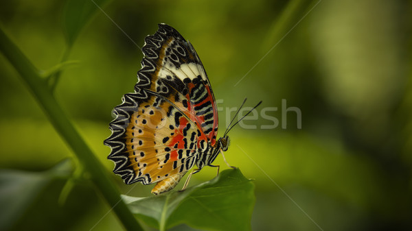Leopard farfalla seduta foglia verde natura bellezza Foto d'archivio © unkreatives