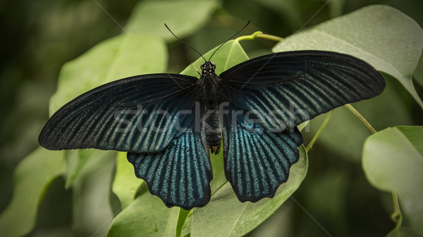 Great Mormon Butterfly Stock photo © unkreatives