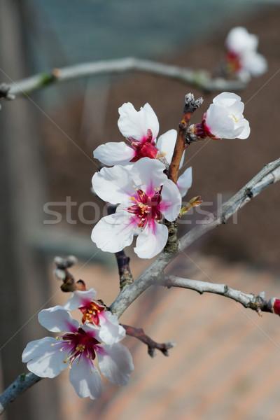 Spring plum-tree blossom Stock photo © unweit