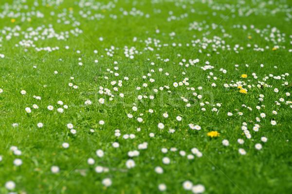 Zielone łące wiosną stokrotki zielona trawa Zdjęcia stock © unweit