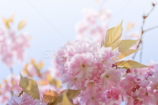 Drzewo wiśniowe wiosną różowy kwiaty Zdjęcia stock © unweit