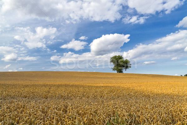 Pole pszenicy samotny drzewo lata dziedzinie Chmura Zdjęcia stock © unweit