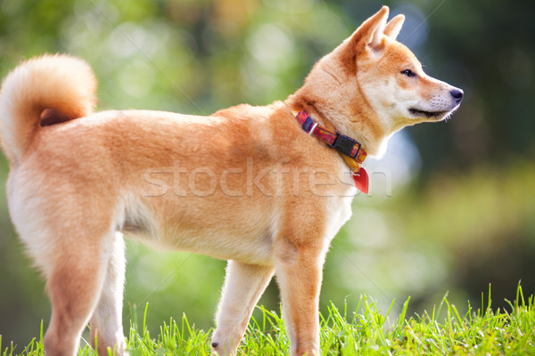 A young shiba inu in green garden. Stock photo © user_11224430