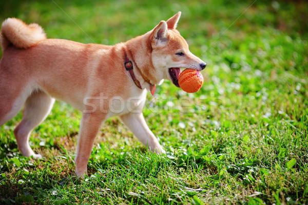 Young Shiba Inu Stock photo © user_11224430