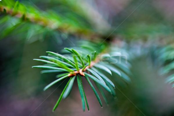 Enfeitar sempre-viva árvore fresco pequeno galho Foto stock © user_11224430