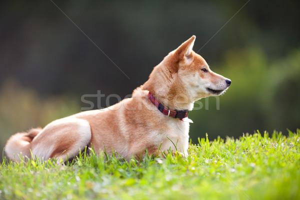 Stockfoto: Jonge · groene · tuin · hond · dier · huisdieren