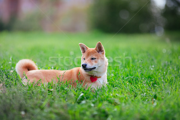 A young shiba inu resting in green garden. Stock photo © user_11224430