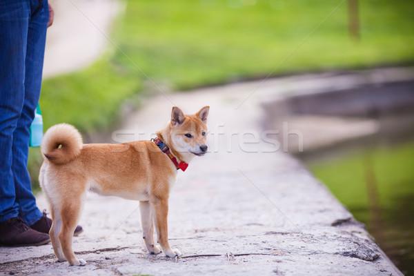 A young shiba Stock photo © user_11224430