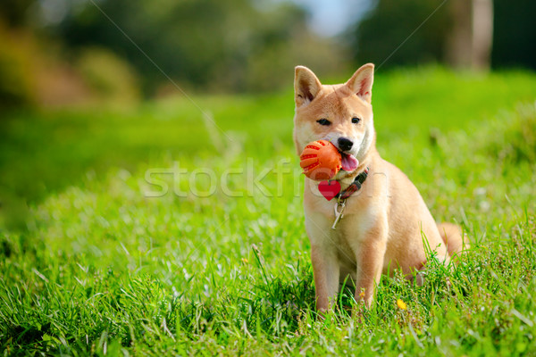 A young shiba inu playing with a ball in green garden Stock photo © user_11224430