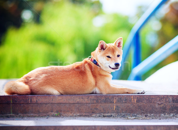 A young shiba inu Stock photo © user_11224430