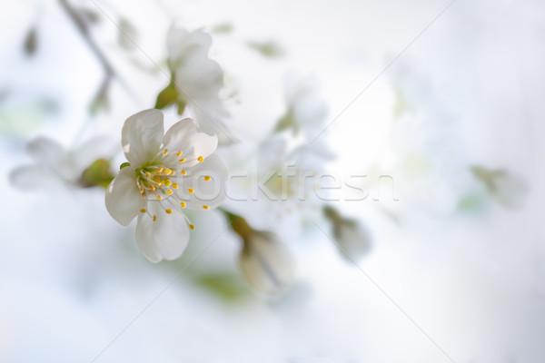 свежие белый весны празднования филиала Сток-фото © user_11224430