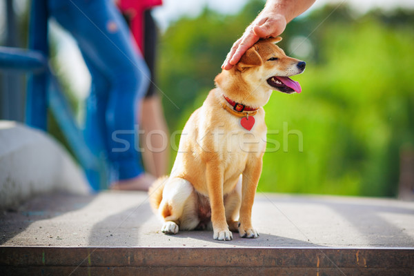 Shiba Inu in garden Stock photo © user_11224430