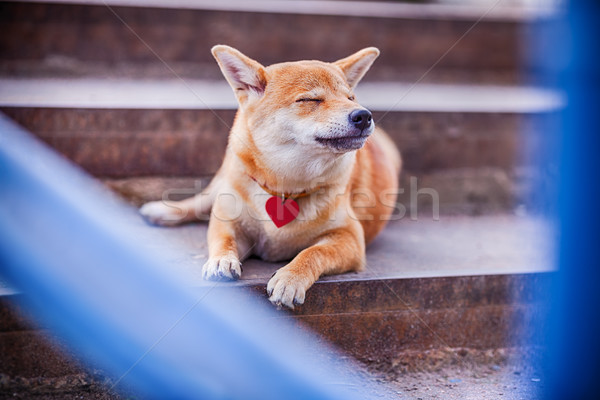 Shiba inu. Dreams. Stock photo © user_11224430