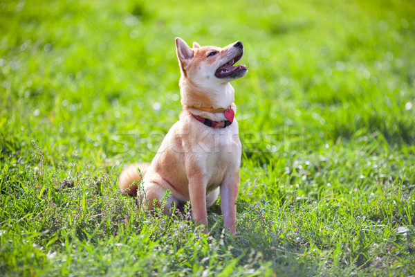 A young shiba inu sits in the park Stock photo © user_11224430