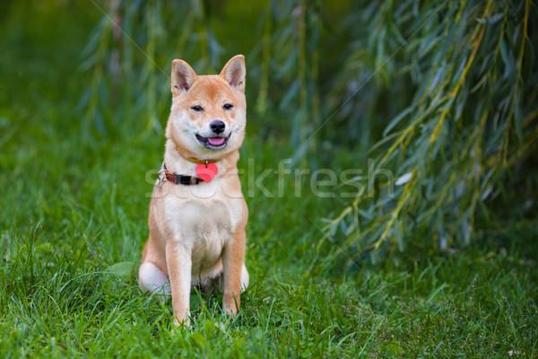 A young shiba inu in green garden. Stock photo © user_11224430