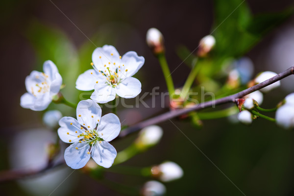 Fresh Cherry blossom Stock photo © user_11224430