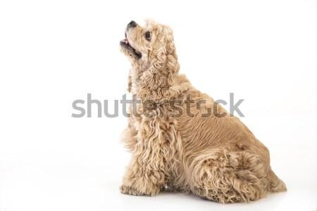 Americano mullido aislado estudio perro triste Foto stock © user_9834712