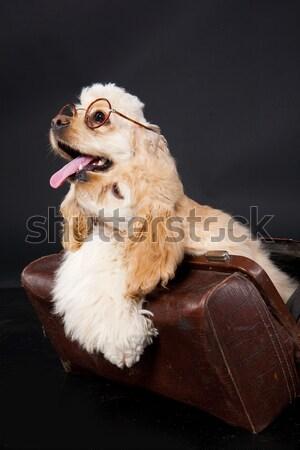 Amerykański puszysty odizolowany studio psa smutne Zdjęcia stock © user_9834712