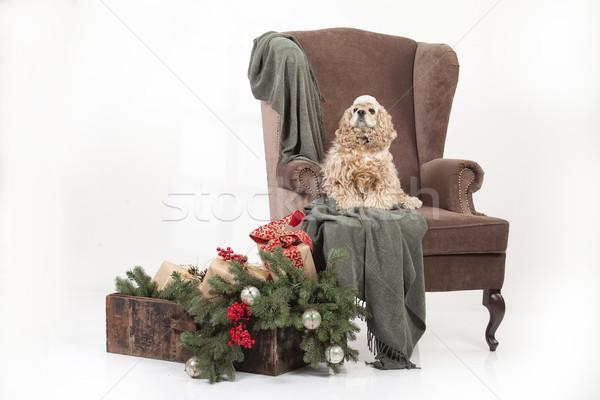 犬 ビッグ アームチェア ふわっとした アメリカン ストックフォト © user_9834712