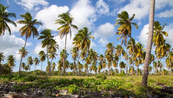 Palm trees on the beach of Isla Saona Stock photo © user_9870494
