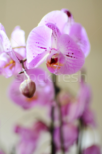 Orchids Stock photo © Ustofre9