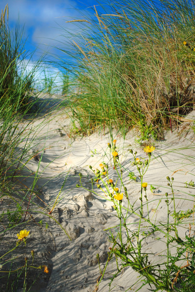 Flowers in the dune Stock photo © Ustofre9