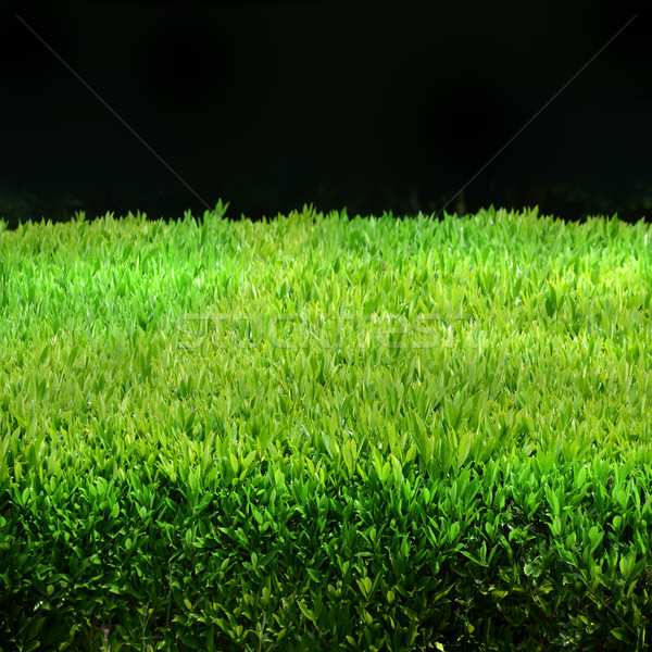 Green hedge Stock photo © Ustofre9