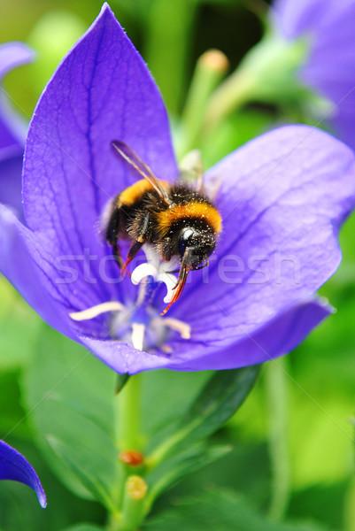 Méh gyűjt virágpor virág virágok tavasz Stock fotó © Ustofre9