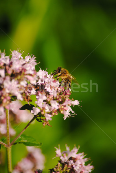 Bee on a flower herb Stock photo © Ustofre9