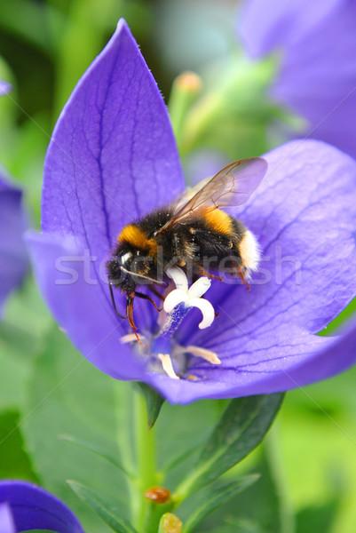 занят Bee пыльца синий цветок цветок Сток-фото © Ustofre9