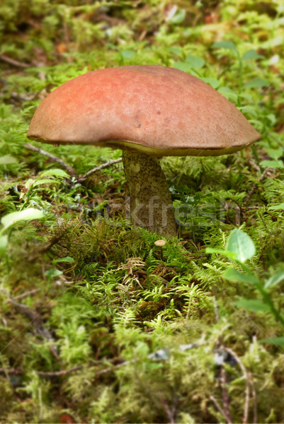 Stock photo: Mushroom in the forest
